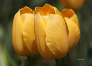 Golden Tulip Trio Print by Suzanne Gaff