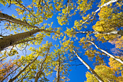 Fall Colors Autumn Colors Posters - Golden View Looking Up Poster by James Bo Insogna