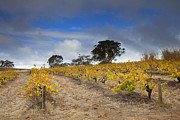 Grape Vines Metal Prints - Golden Vines Metal Print by Mike  Dawson