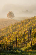 Haze Metal Prints - Golden vineyard and tree Metal Print by Davorin Mance
