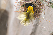 Cheryl Cencich Art - Golden Weaver by Cheryl Cencich