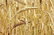 Wind Photos - Golden Wheat  by Carlos Caetano