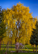 North Cascades Posters - Golden Willow Tree Poster by Omaste Witkowski