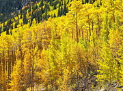 Lush Colors Posters - Golden Yellow Aspen Groves Poster by Amy McDaniel