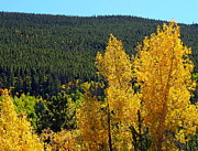 Lush Colors Posters - Golden Yellow Aspen Trees Poster by Amy McDaniel