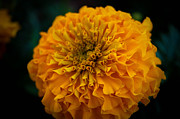 Flower Photos - Golden Yellow by Jason Picard