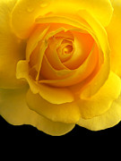 Rose Macro Prints - Golden Yellow Rose and Black Print by Jennie Marie Schell
