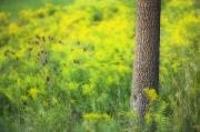 Goldenrod Wildflowers Prints - Goldenrod - Binbrook Conservation Area Print by Darwin Wiggett
