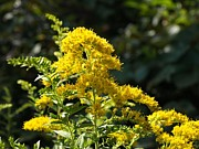 Goldenrod Wildflowers Prints - Goldenrod in Afternoon Sunshine Print by C Kirby
