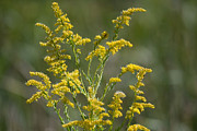 Autumn Photos Originals - GoldenRod  by Ruth  Housley