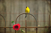 Emily Stauring Acrylic Prints - Goldfinch And Roses  Acrylic Print by Emily Stauring