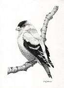 Goldfinch Drawings - Goldfinch by Catherine Hoffman