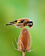 Paul Scoullar - Goldfinch feeding on...