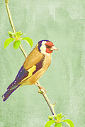 Iain S Byrne - Goldfinch