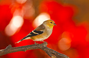 Randall Branham - Goldfinch in autumn colors