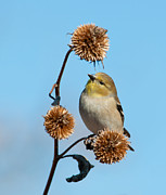 Spinus Tristis Prints - Goldfinch looking for seeds Print by Sari ONeal