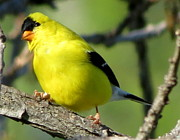 Goldfinch Print by Marcus Moller