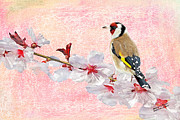 Goldfinch Digital Art Framed Prints - Goldfinch on Blossom Framed Print by Iain S Byrne