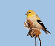 Spinus Tristis Prints - Goldfinch on dry sunflower head Print by Sari ONeal