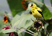 Jim Vansant - Goldfinch on Sunflower