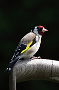 Mick Gosling - Goldfinch UK