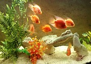 Fish Tank Framed Prints - Goldfish at the Chinese Restaurant  Framed Print by Lois  Ivancin Tavaf