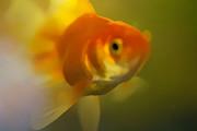 Goldfish Print by Marcel Verhaar