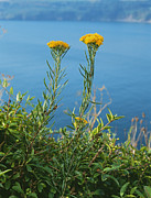 Goldilocks Metal Prints - Goldilocks Aster Metal Print by Geoff Kidd