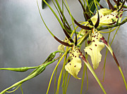 Goldilocks Metal Prints - Goldilocks Orchid Metal Print by Addie Hocynec
