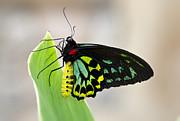 Saija  Lehtonen - Goliath Birdwing Butterfly