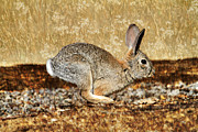 Canon 7d Framed Prints - Gone Bunny Gone Framed Print by Donna Kennedy