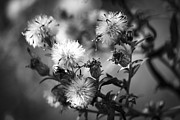 Aster Flower Prints - Gone To Seed Wild Aster Print by Teresa Mucha