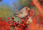 House Finch Posters - Good Grief   These Berries Sure Are Messy  Poster by Donna Kennedy