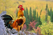 Poultry Photos - Good Morning America by Christine Till