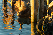 California Sea Lions Photos - Good Morning Monterey by Scott Warner