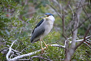 Rosanne Jordan - Good Morning Night Heron
