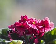 Linda  Smith - Good Morning Violets