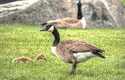 Mother Goose Photo Posters - Goose and Gosling Afternoon Graze Poster by Deborah Smolinske