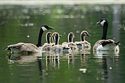 Larry Bird Prints - Goose Family Print by Larry Ricker