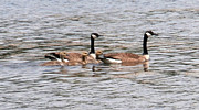 Joseph Baril - Goose Family Swim
