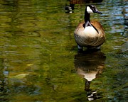 South Philadelphia Prints - Goose in Lake Print by John Janette