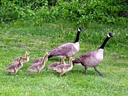 Geese Photos - Goose Step by Will Borden