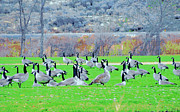 Nature Study Photo Prints - Goose XW50 Print by Heidi Manly