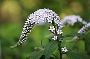 Gooseneck Loosestrife Framed Prints - Gooseneck Loosestrife Framed Print by Carrie Munoz