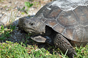 Florida Wildlife Photography Prints - Gopher Tortoise on Honeymoon Island Print by Bruce Gourley