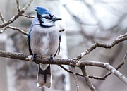 Cheryl Baxter Metal Prints - Gorgeous Blue Jay Metal Print by Cheryl Baxter