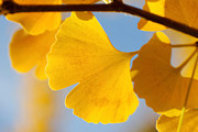 Hugh Stickney - Gorgeous Ginkgo