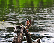 Breeding Posters - Gorgeous Green Heron Poster by Al Powell Photography USA