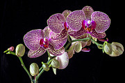 Gorgeous Posters - Gorgeous Orchids Poster by Garry Gay