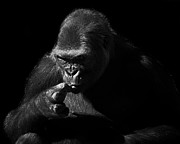 Gorilla Photos - Gorilla by Camille Lopez